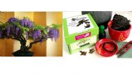 Premium Bonsai Kit in Gift Box (Wisteria Tree)-8Pieces,Includes CERAMIC Pot
